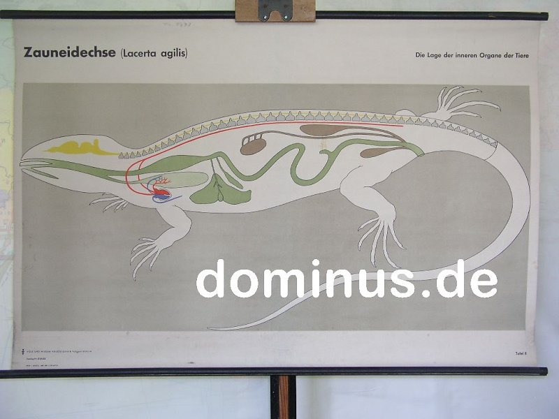 Zauneidechse-Die-Lage-der-inneren-Organe-der-Tiere-Tafel-II-VuW ...